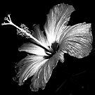 Hibiscus by raneangel