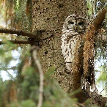 Beautiful Barred Owl (video in description) by locustgirl