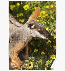 Yellow-Footed Rock-Wallaby Poster