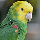Double Yellow Headed Amazon Parrot by Jeff Ore