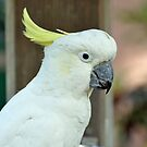 Sulpher Crested Cockatoo by Jeff Ore