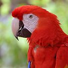 Scarlet Macaw by Jeff Ore
