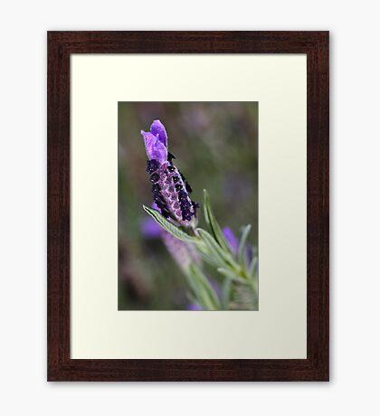 Spring Purple Lavender Framed Print