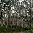 Karri Trees by Eve Parry