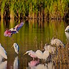 Spoonbill Coming in for a Landing by TJ Baccari Photography