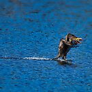Cormorant Waterskiing by TJ Baccari Photography