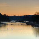 Swans at Dusk on the river Isar by Kasia-D
