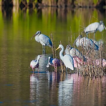 Spoonbill Argument by imagetj