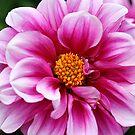 Hypercoloured Dahlia by mooksool