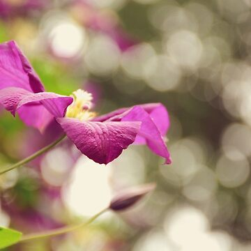 AFE Purple Clematis Nature Photography by afeimages1