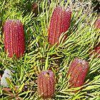 Red Banksia Bush by Graeme  Hyde