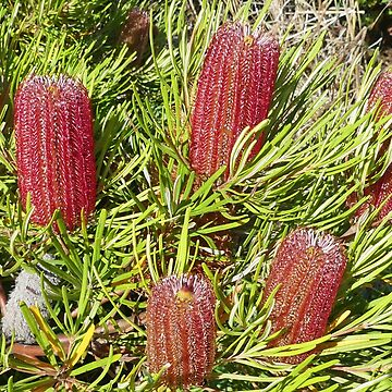 Red Banksia Bush by grmahyde