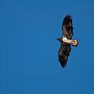 Juvenile Bald Eagle   by Jeff Palm Photography
