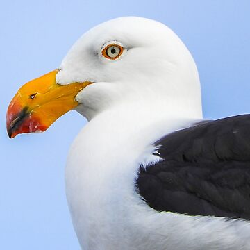 Pacific gull by indiafrank