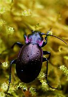 Purple Beetle by Themossgirl