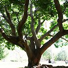Botanic Gardens Tree by HellYeahKate