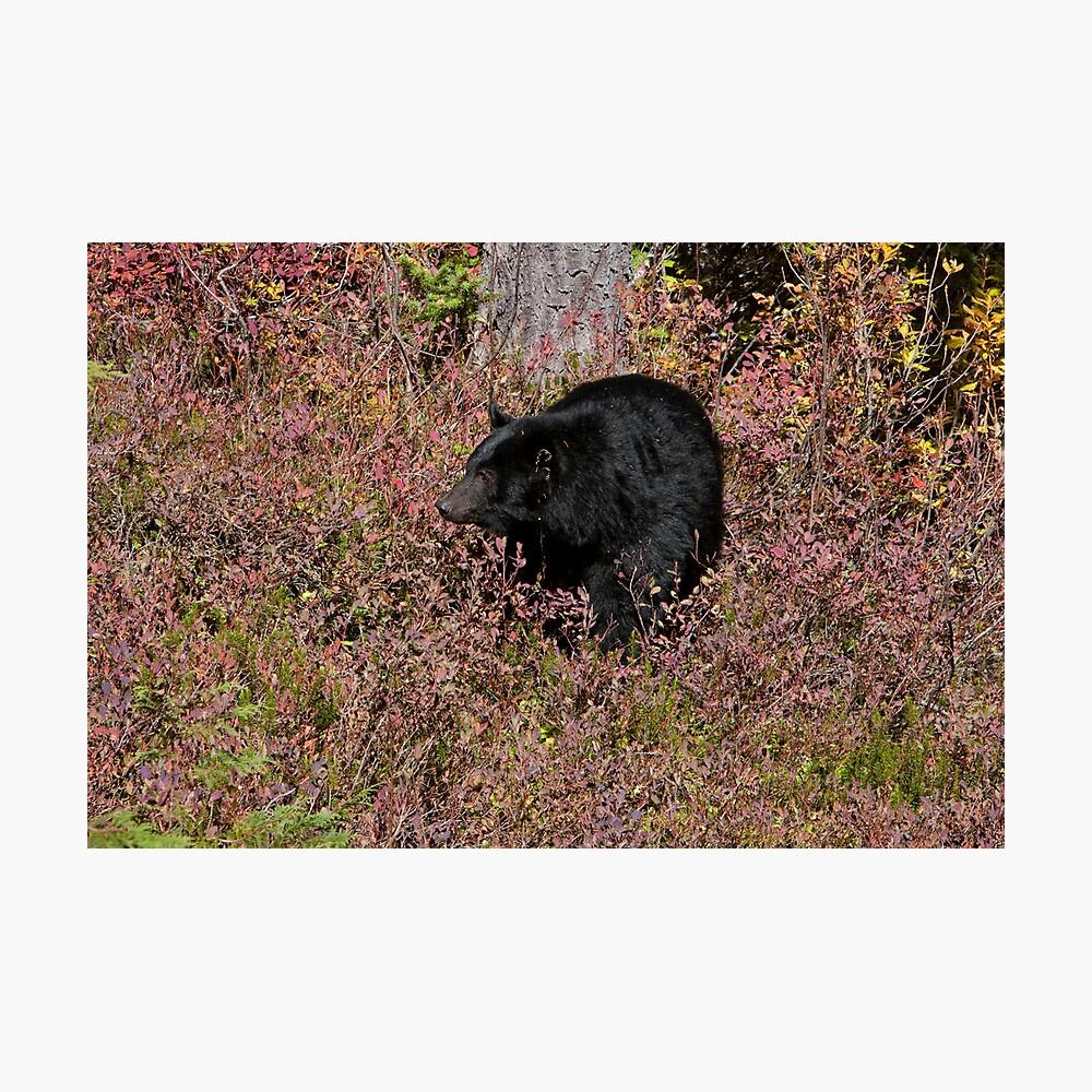 Black Bear on the Forbidden Plateau Photographic Print