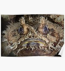 Western Frogfish Poster