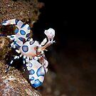 Harlequin shrimp by Stephen Colquitt
