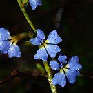 Fairy Fan Flower (Scaevola aemula)- Gembrook, Victoria by Bev Pascoe