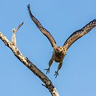 Whistling Kite, Northern Territory by Andrew Goodall
