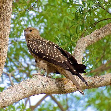 NT ~ RAPTOR ~ Whistling Kite by David Irwin by tasmanianartist