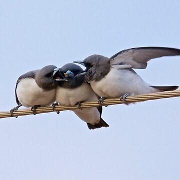 NT ~ SWALLOW ~ White-breasted Woodswallow by David Irwin by tasmanianartist