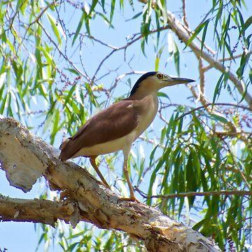 NT ~ WADER ~ Nankeen Night Heron by David Irwin by tasmanianartist