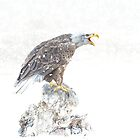 Bald eagle in snowstorm by Brian Tarr