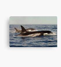 Orca pair Canvas Print