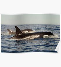 Orca pair Poster