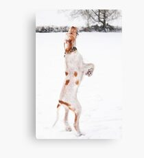 Snow Catching Spinone Canvas Print
