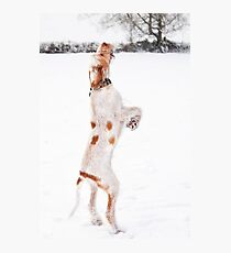 Snow Catching Spinone Photographic Print