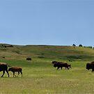 American Buffalo Walking the Prairie of North America by John Kelly Photography (UK)