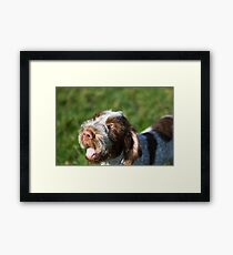 Spinone Puppy Smile - Brown Roan Italian Spinone Puppy Dog Head Shot Framed Print