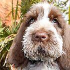 Brown Roan Italian Spinone Puppy Dog Head Shot by heidiannemorris