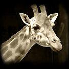 Giraffe by tracyleephoto