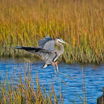 Great Blue Heron Landing on Stump by imagetj