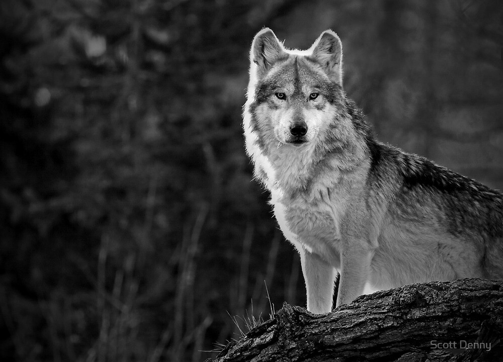 """Wolf Photography """"Lone Wolf"""" ..."""