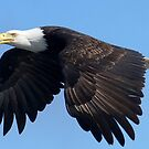 Eagle by Betsy  Seeton