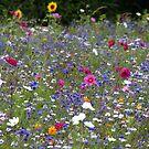 Field of Flowers by helenlloyd