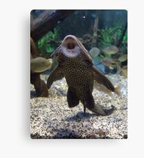 Give Me A Kiss ~ Plecostomus, or Algae eaters Canvas Print