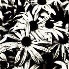 Echinacea  by Karen Stahlros