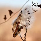 Milkweed Pod and Seeds in November..... by Poete100