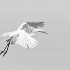 Great Egret 2014-3 by Thomas Young