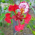 Poinciana Flower by Virginia McGowan