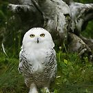 Snowy owl by Jean Knowles