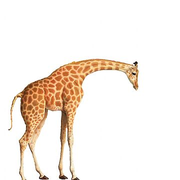 Giraffe on a white background by franceslewis