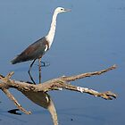 White-Necked Heron with reflection 2 by mncphotography