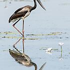 Black Necked Stork  by mncphotography